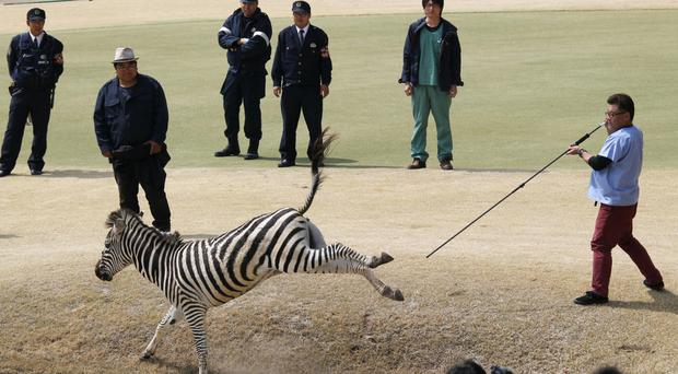A vet aims a tranquilliser dart at the zebra during the golf course chase (Kyodo News/AP)