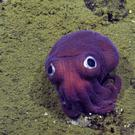 This stubby squid on the ocean floor near Los Angeles may be a new species, scientists believe (OET/NautilusLive/AP)