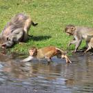 A study of rhesus monkeys has highlighted the harm that the stress of low social status can inflict on the immune system.