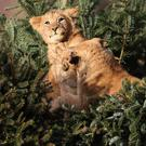 Lion cubs at Blair Drummond safari park near Stirling explore Christmas trees left over from the attraction's annual sale