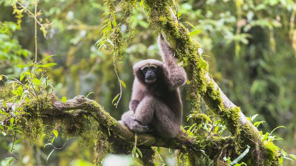Hoolock tianxing: New Species of Gibbon Discovered in Myanmar and China