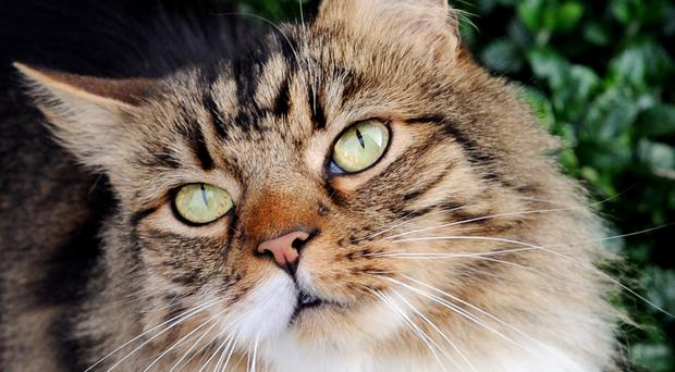 Toxoplasma gondii can spread through cat litter