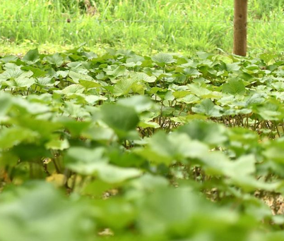 Wasabi is being grown commercially in Northern Ireland for the first time