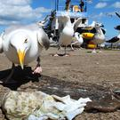 Concerns have risen that seagulls will launch a fresh wave of attacks on Britons as the breeding season hits this spring