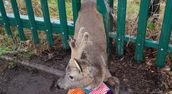 The deer got caught in a fence at Sallys Park in Coatbridge, North Lanarkshire (Scottish SPCA/PA Wire)
