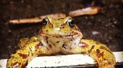 One of the frogs rescued by the RSPCA from an underground shopping car park in Finchley, London.