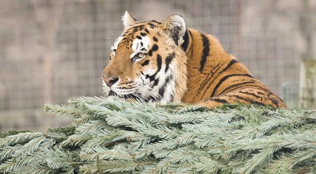 The zookeeper was in an enclosure when the tiger entered (stock photo)