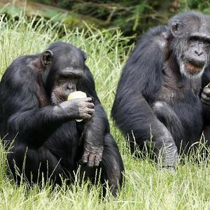Chimpanzees prefer a mattress that is both springy and firm, research suggests