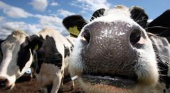 Beef farming, by and large, is not profitable for many of its participants
