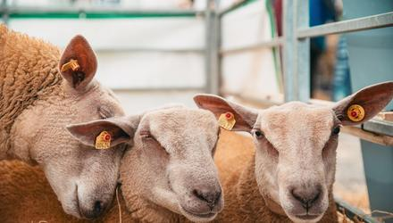 The sheep pavilion during day two of the Balmoral Show on September 23, 2021 (Photo by Kevin Scott for Belfast Telegraph)