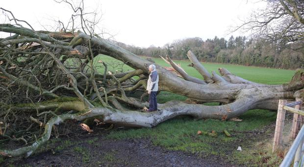 A felled tree at the Dark Hedges in January