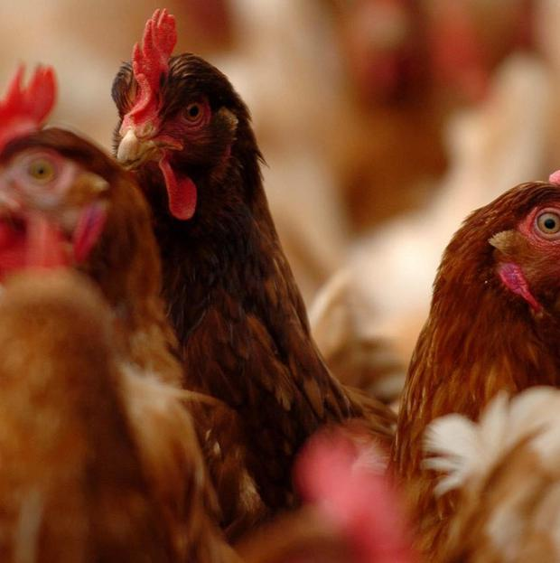 The British Poultry Council has warned the UK is running out of space to rear chickens
