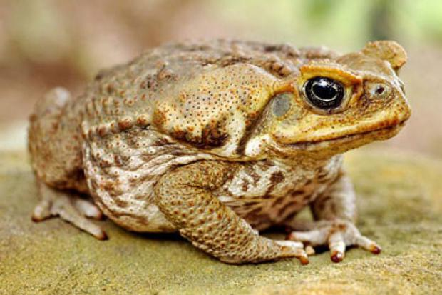 To this day the cane toad remains a pest and one of the few animals that residents are actively encouraged to eradicate