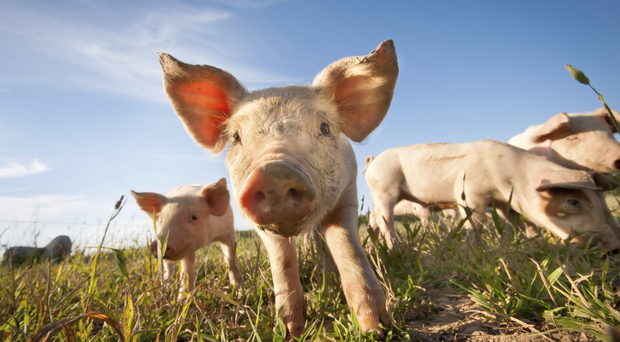 Moving into the Chinese pork market could bring a potential £10m annually to our industry