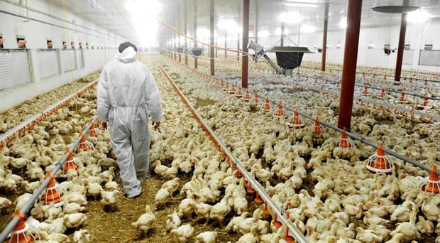 Poultry farmers are among those who may be affected after the RHI scheme was scrapped