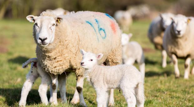 Restrictions on UK exports to the EU after Brexit could help boost sales for sheep farmers in the Republic