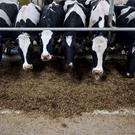 Around two-thirds of local dairy businesses could be
