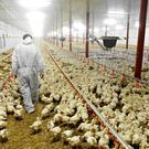 Poultry farmers make up a large number of those claiming from the green energy scheme.