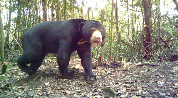 A sun bear photographed by a camera trap in Malaysia (Body Shop)