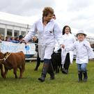 Parading the cattle around the ring at the Balmoral Show