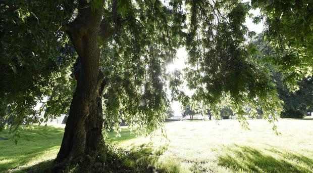 The trees at the Pauper's graveyard in Newry