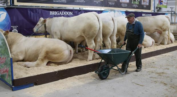 Albert Connolly prepares his Brigadoon Charolais cattle for the Balmoral show