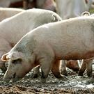 Cranswick bought a new pig farm business in December. (Rui Vieira/PA)