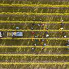 A drone image showing harvesting in a Chapel Down vineyard(Chapel Down/PA)