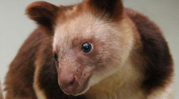 Kau Kau is the Papua New Guinea word for sweet potato - the tree kangaroo's favourite food.