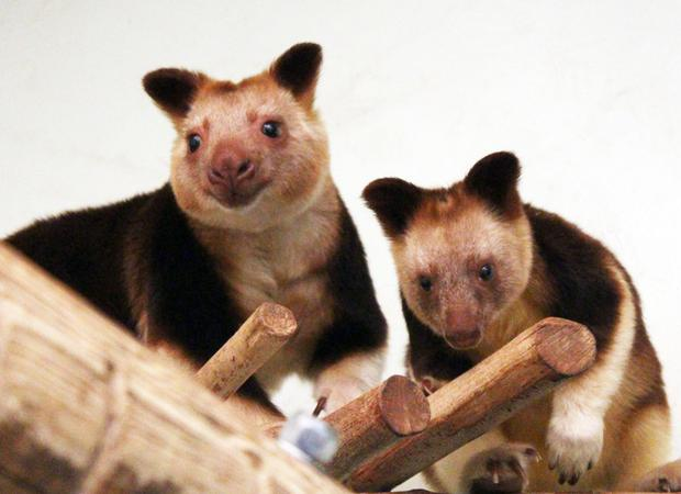 Until this year Belfast Zoo was the only zoo in the UK and Ireland to care for Goodfellow's tree kangaroo and were the first in the UK to breed the species.