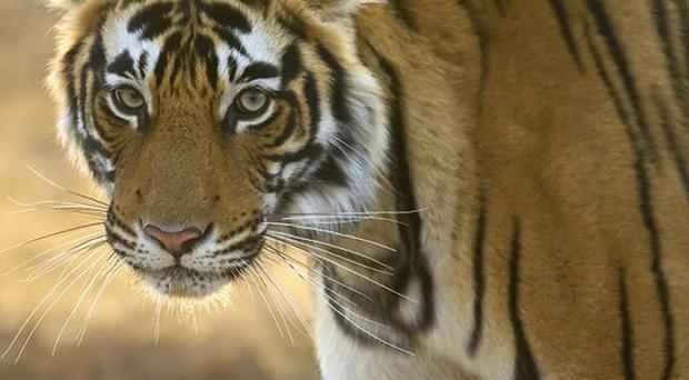 A Bengal tiger like the one pictured was used during filming on Life Of Pi