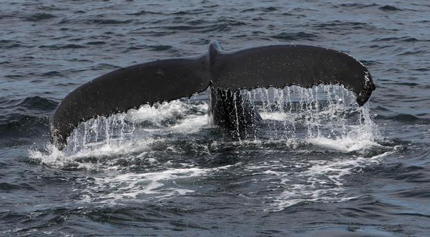 A humpback whale as it dives in the North Atlantic ocean off the coast of Reykjavik, Iceland (Chris Radburn/PA)