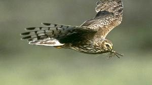 Campaigners are backing measures to protect the hen harrier