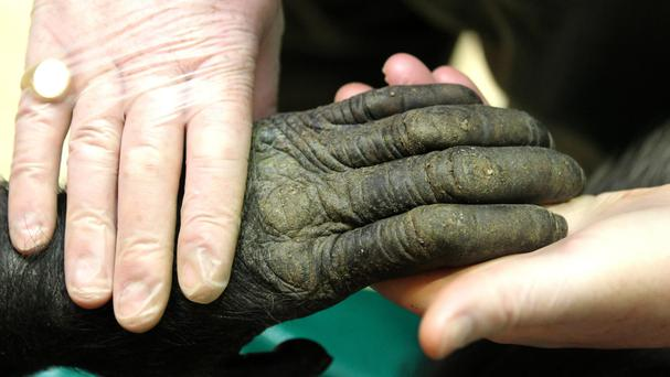 Choppers, the last surviving PG Tips chimp, has died aged 48