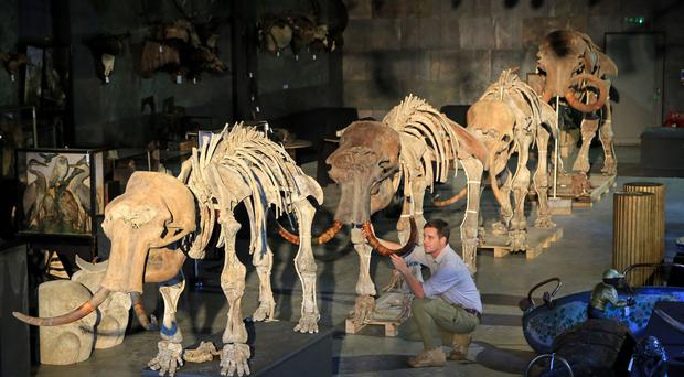 Rupert van der Werff of Summers Place Auctions puts the final touches to a family of four mammoths including a baby mammoth skeleton (Gareth Fuller/PA)