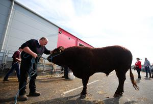 Press Eye - Belfast - Northern Ireland - 15th May 2019  First day of the Balmoral Show, in partnership with Ulster Bank.  Ernest Gregg from Ballybollem Pedigree Livestock farm in Randalstown, Co. Antrim, pictured with his two-year-old bull Moore at Balmoral Park outside Lisburn.    Picture by Jonathan Porter/PressEye