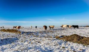 Cows on the Divis Ridge Trail during the icy weather on Monday. Pic: Kevin Scott / Belfast Telegraph