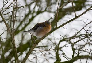 Pacemaker press 30/01/16 A Chaffinch fluffs it's feathers to stay warm after an over night dusting of snow covers the ground around Loughgiel in Co Antrim. Picture Pacemaker press