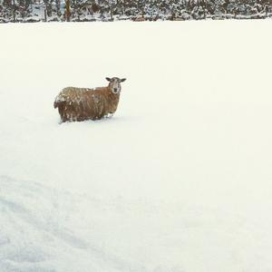 A lone sheep surrounded by snow at a farm near Claudy, Derry. Pic. Fiona-Jane Garrett 14/01/2015