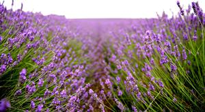 Sweet serenity: Lavender can help create a calming influence
