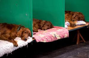 Irish Setter dogs sleep in their pens on the first day of the Crufts dog show at the National Exhibition Centre in Birmingham, central England on March 5, 2015. AFP PHOTO / OLI SCARFFOLI SCARFF/AFP/Getty Images