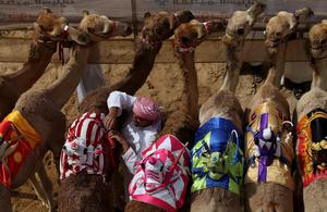 A handler prepares camels to race during Al Marmoom Heritage Festival at the Al Marmoom Camel Racetrack on April 1, 2015 in Dubai, United Arab Emirates.The festival promotes the traditional sport of camel racing within the region.  (Photo by Francois Nel/Getty Images)