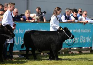 Press Eye - Belfast - Northern Ireland - 15th May 2019  First day of the Balmoral Show, in partnership with Ulster Bank: Showing cattle takes place in the main area at Balmoral Park outside Lisburn.    Picture by Jonathan Porter/PressEye