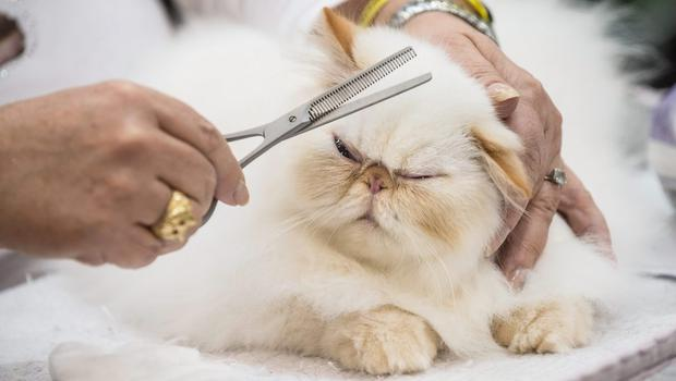 A cat waits to be examined with its owner by the jury during the first day of the Super Cat Show 2014, on November 8, 2014 in Rome, Italy.   (Photo by Giorgio Cosulich/Getty Images)