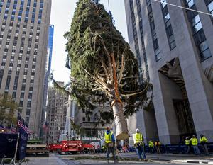 The 2020 Rockefeller Centre Christmas tree where the owl was found (Craig Ruttle/AP)