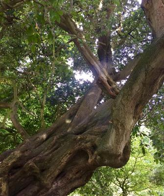 Ritchy Kimmins from Newry. The picture was taken in Kilbroney Park, Rostrevor and it is of the Holm Oak tree. The picture was taken last weekend as this tree is over 200 years old.