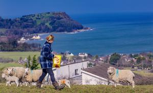 Ellie McAuley tends to the lambs on her family farm in self isolation with a sea backdrop as Northern Ireland goes into its first day of lockdown on Tuesday, March 24th 2020 (Photo by Kevin Scott for Belfast Telegraph)
