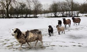 Sheep brave the overnight snowfall in Co Derry, Feb 2014. Picture Margaret McLaughlin