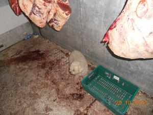 The dog was found feeding off the decaying food debris and rubbing against the meat carcases pic. Newry and Mourne Council