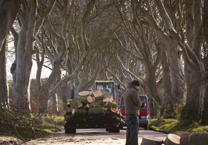 Picture - Kevin Scott   Belfast , UK - January 29th, Pictured is trees down at the Dark Hedges on the 29th January 2016 (Photo by Kevin Scott )